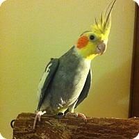 Adopt A Pet :: Chompers - Shawnee Mission, KS