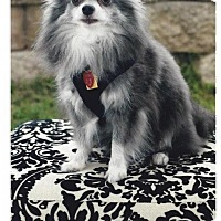 Adopt A Pet :: Gizmo - Shawnee Mission, KS