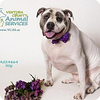 Adopt A Pet :: A524864 In danger at camarillo shelter - Beverly Hills, CA