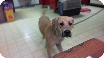 Black Mouth Cur Mix Dog for adoption in Lake City, Florida - Bruno