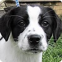 Adopt A Pet :: Cameron - Germantown, MD