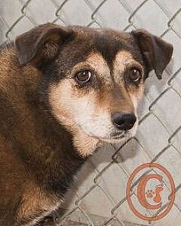 Corgi/Beagle Mix Dog for adoption in Westminster, Colorado - Tinkerbell goes w/Nugget - courtesy listing