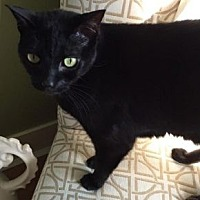 Domestic Shorthair Cat for adoption in Vancouver, British Columbia - Katie