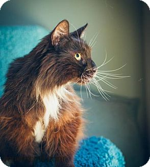 Domestic Longhair Cat for adoption in Campbell, California - Professor Pudding