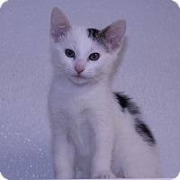 Siamese Kitten for adoption in Lumberton, North Carolina - Barney