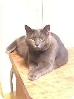 Domestic Shorthair Cat for adoption in Cedar, Minnesota - Grace