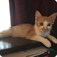 Domestic Mediumhair Kitten for adoption in Bulverde, Texas - Squash