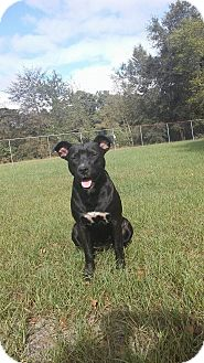 American Staffordshire Terrier/Labrador Retriever Mix Dog for adoption in Matawan, New Jersey - Stormie
