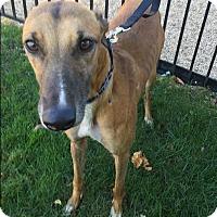 Adopt A Pet :: Hashtag Gobigred - West Babylon, NY