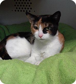 Calico Cat for adoption in Franklin, New Hampshire - Magnolia