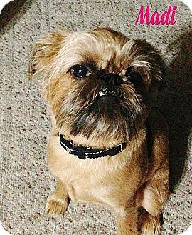 Brussels Griffon Dog for adoption in Austin, Texas - MADI in Dallas, TX