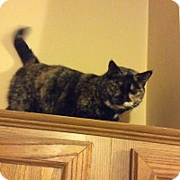 Domestic Shorthair Cat for adoption in Queensbury, New York - Bethany