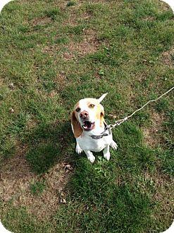 Beagle/Basset Hound Mix Dog for adoption in Cedar Rapids, Iowa - Buddy