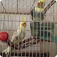 Adopt A Pet :: 4 Cockatiel Flock - Punta Gorda, FL