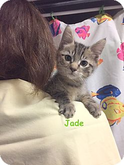Domestic Shorthair Kitten for adoption in Cliffside Park, New Jersey - JADE