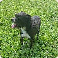 Brussels Griffon/Miniature Schnauzer Mix Dog for adoption in Glastonbury, Connecticut - Mikey~meet me!
