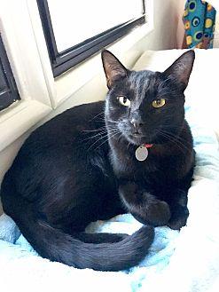 Bombay Cat for adoption in Studio City, California - Cash the legend!