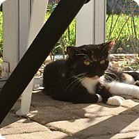 Adopt A Pet :: Frannie - Marco Island, FL