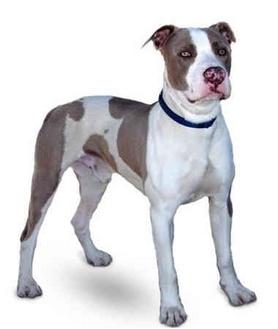 American Staffordshire Terrier Dog for adoption in Marina del Rey, California - Jordan