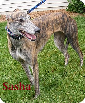 Greyhound Dog for adoption in Fremont, Ohio - Sasha