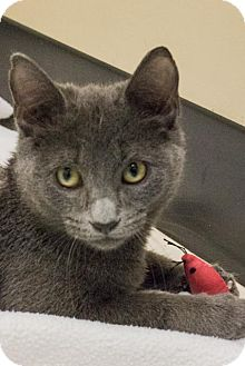 Russian Blue Cat for adoption in Chicago, Illinois - Ashton