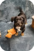Dachshund Mix Puppy for adoption in Marietta, Georgia - Mikey
