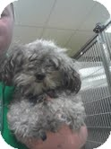 Poodle (Toy or Tea Cup) Dog for adoption in Antioch, Illinois - Peaches ADOPTED!!