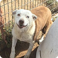 Adopt A Pet :: Lacey - Golden, CO