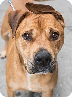 Mastiff/Boxer Mix Dog for adoption in Manhattan, New York - Brownie