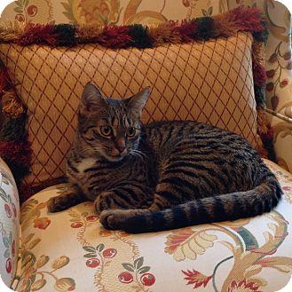 Domestic Shorthair Cat for adoption in Toronto, Ontario - Nikki