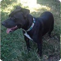 American Staffordshire Terrier Mix Dog for adoption in Von Ormy, Texas - Molish(VL)