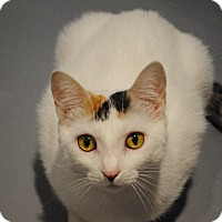 Calico Cat for adoption in Lafayette, New Jersey - Lisa