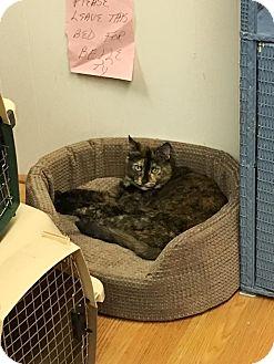 Domestic Shorthair Cat for adoption in Acushnet, Massachusetts - Belle