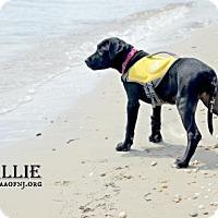 Adopt A Pet :: Callie - Willingboro, NJ