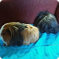 Guinea Pig for adoption in San Antonio, Texas - Renee &Silkie