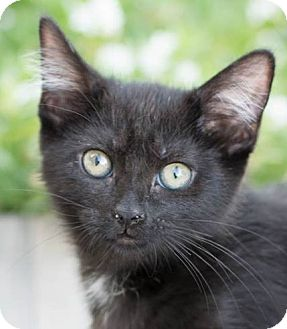 Domestic Shorthair Kitten for adoption in Modesto, California - Raven