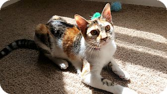 Calico Kitten for adoption in Houston, Texas - JoJo
