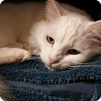 Domestic Longhair Cat for adoption in Fort Mill, South Carolina - Zima
