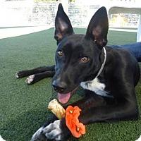 Adopt A Pet :: Pip Squeak - Paso Robles, CA