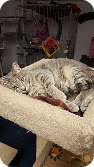 Domestic Shorthair Cat for adoption in Phoenix, Arizona - JACKIE O.