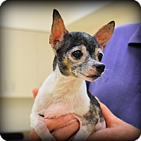 Chihuahua/Rat Terrier Mix Dog for adoption in Granbury, Texas - Kiki