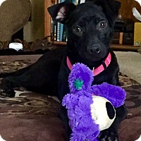 Labrador Retriever/Pit Bull Terrier Mix Puppy for adoption in Vancouver, British Columbia - Bonnie