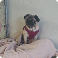 Adopt A Pet :: Chloe - Gardena, CA
