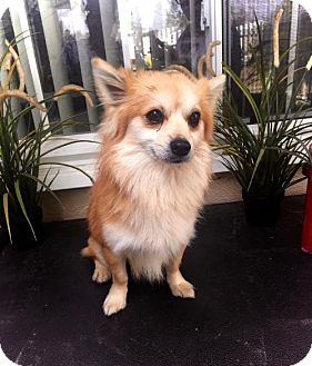 Pomeranian Mix Dog for adoption in Costa Mesa, California - Alvin