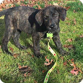 Australian Shepherd/Labrador Retriever Mix Puppy for adoption in Sagaponack, New York - Terasa