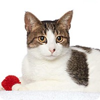 Domestic Shorthair Cat for adoption in Los Angeles, California - Muffy