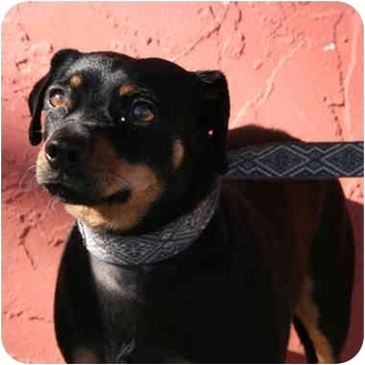 Manchester Terrier/Dachshund Mix Dog for adoption in Denver, Colorado - Roc
