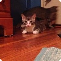 Domestic Shorthair Cat for adoption in New York, New York - Aqua