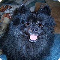 Adopt A Pet :: Pompous - Templeton, CA