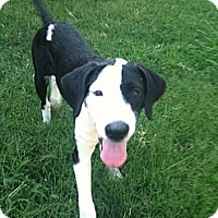 Adopt A Pet :: Pete - Broomfield, CO